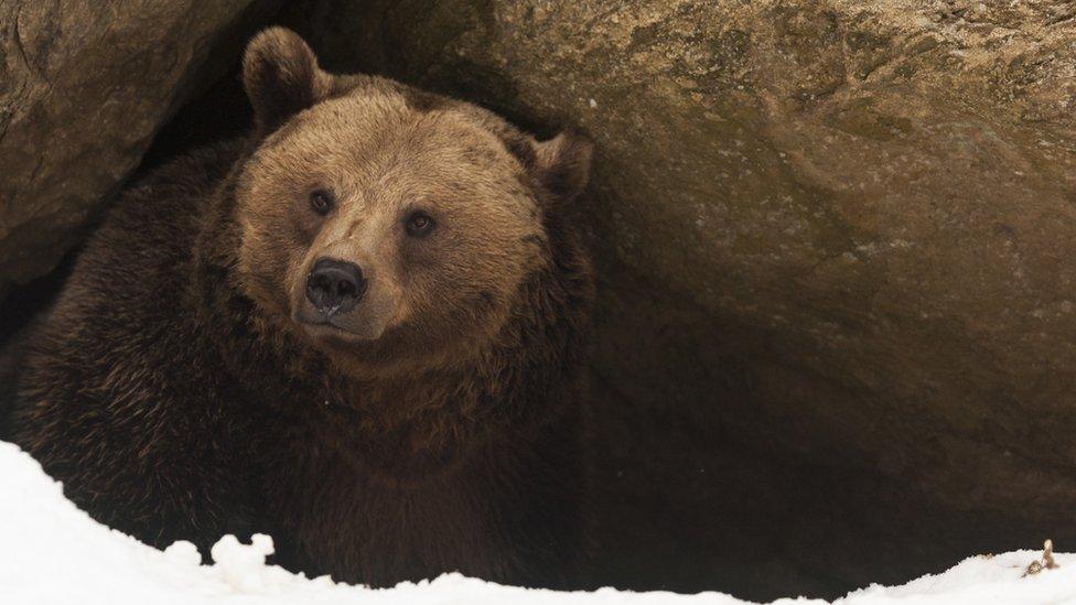 Un oso en una cueva