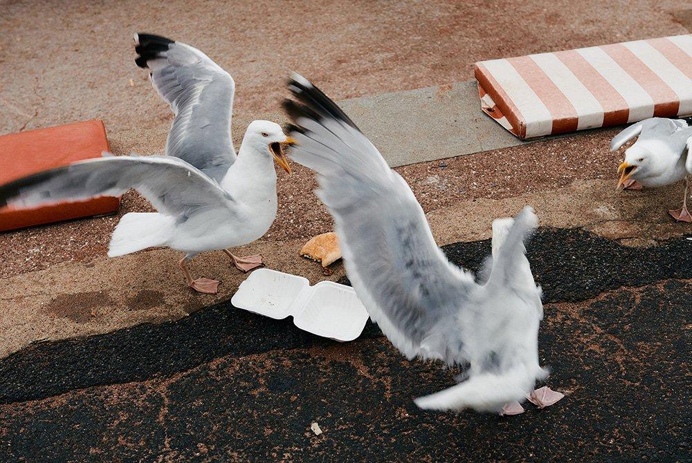 زوجان من طيور النورس، يتعاركان من أجل الحصور على شطيرة برغر