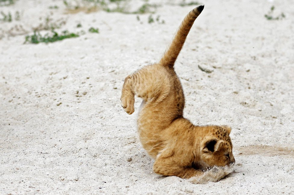 Barbary lion cub jumps inside its enclosure