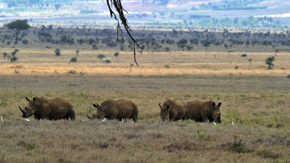A herd Rhinocerus (not white rhinos though!) pasture in the savanah at the Lewa Wildlife Conservancy on December 9, 2010.