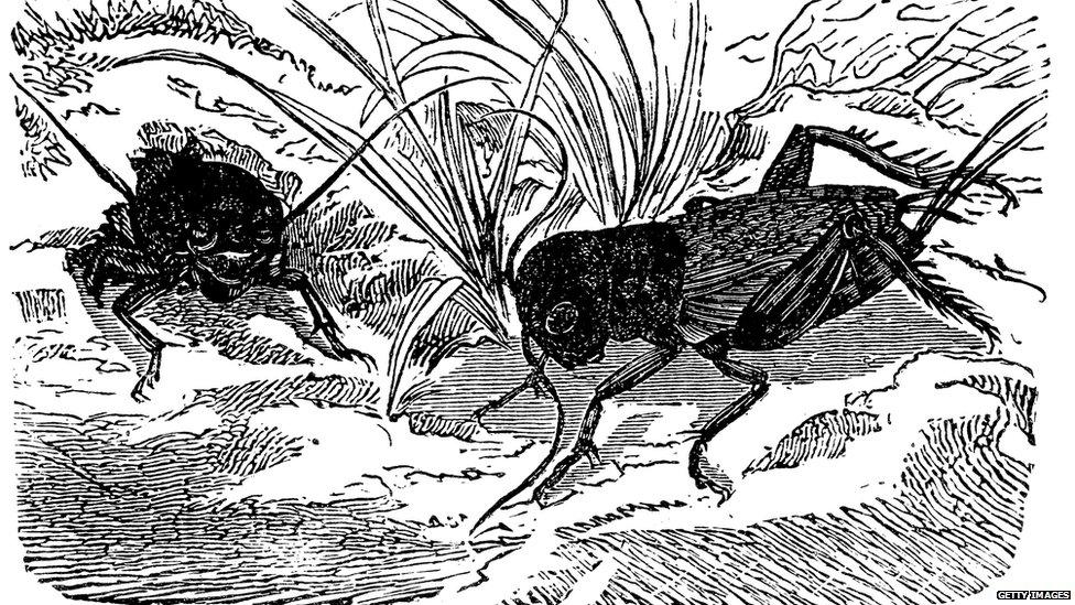 Illustration of a European field cricket