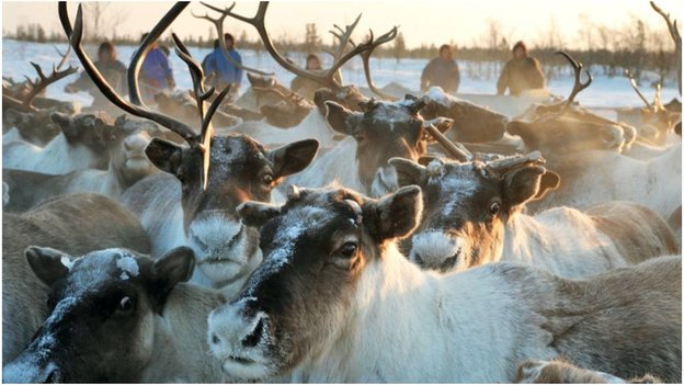 Locals rely on the reindeers