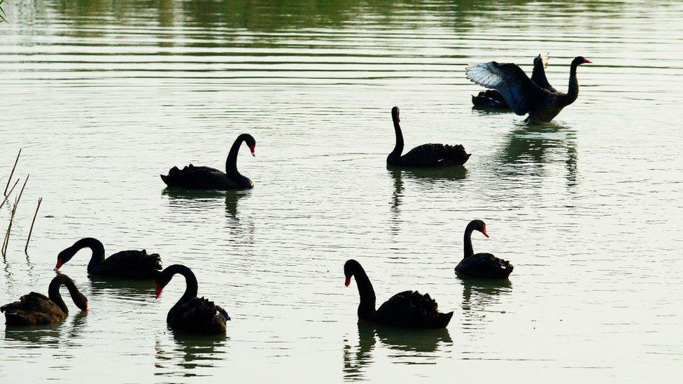 Muchos cisnes negros
