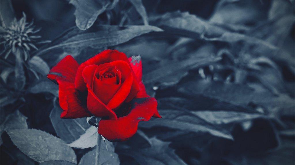 Rosa roja en fondo blanco y negro