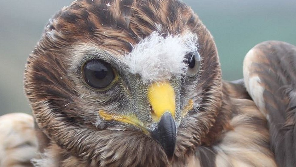 Hen harrier feared to have been deliberately killed