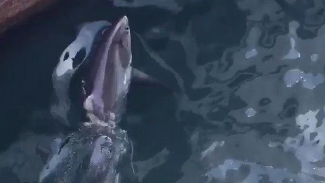 Thresher shark at Fishguard Harbour