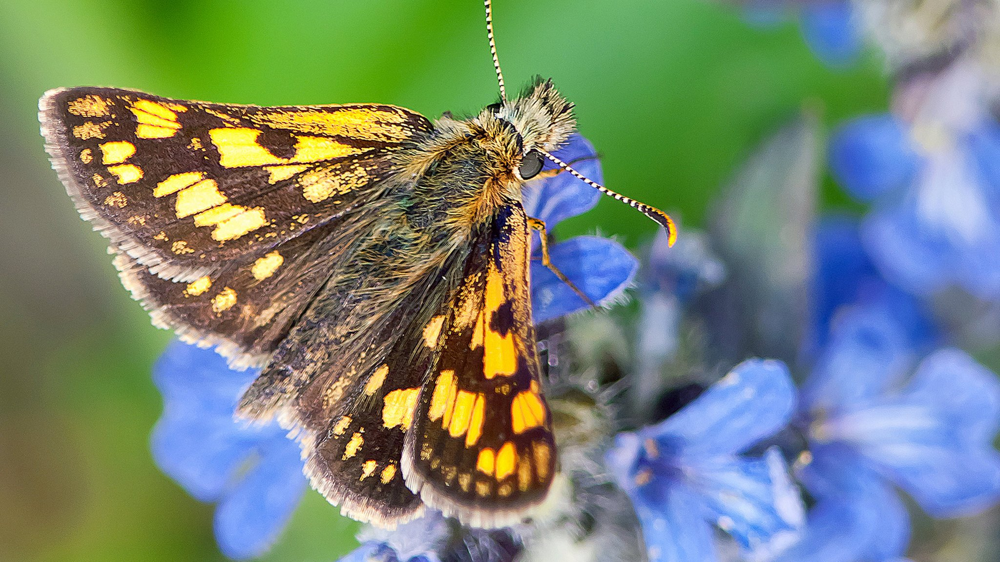 Extinct butterfly to be reintroduced in England