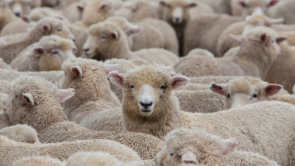 A huge heard of sheep about to go into the shearing shed