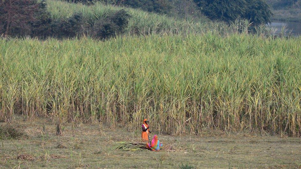 Cosecha de caña de azúcar en las afueras de Ayodhya, en el norteño estado de Uttar Pradesh