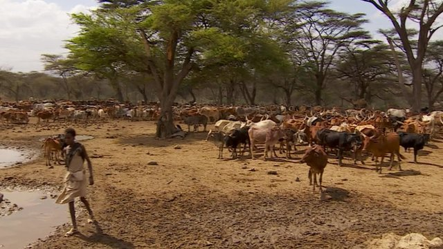 Cattle on dry mud