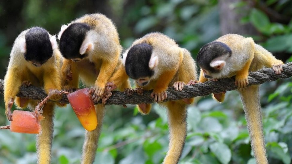 Black-capped squirrel monkeys eating iced treats with nuts and berries during the hot weather at London Zoo