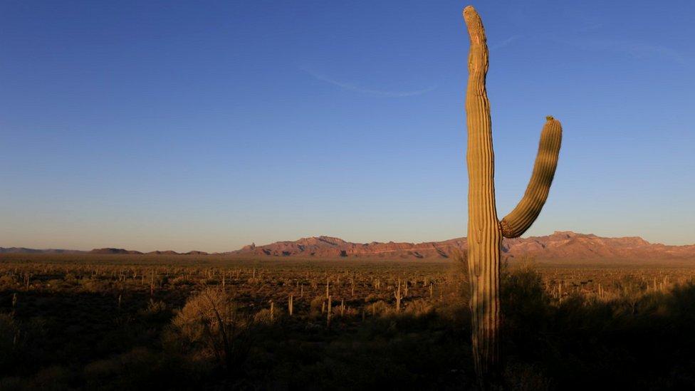 Saguaro cactus and Sonoran Desert landscape