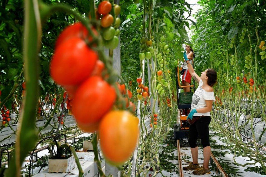 Mujeres cultivando tomates en Italia