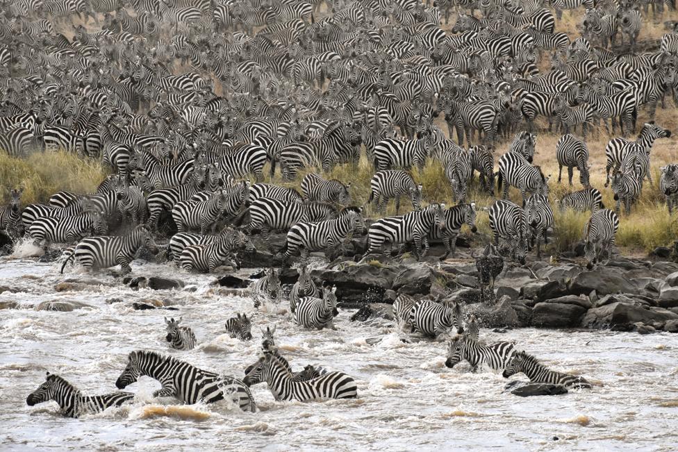 Zebre u stampedu