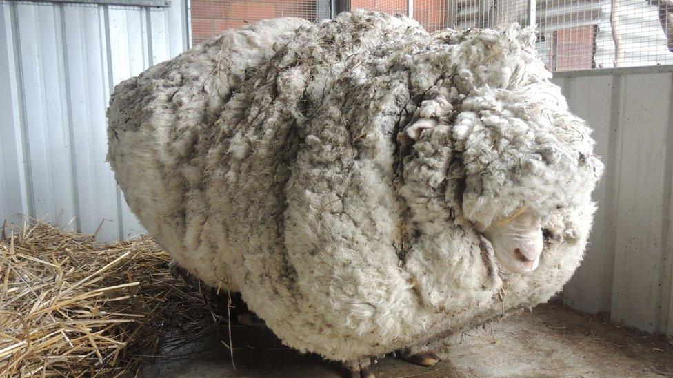 Chris the sheep with his heavily overgrown fleece