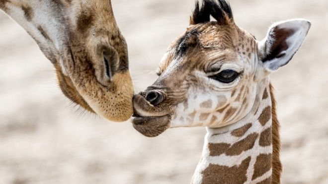 Giraffes get trade protection amid falling numbers